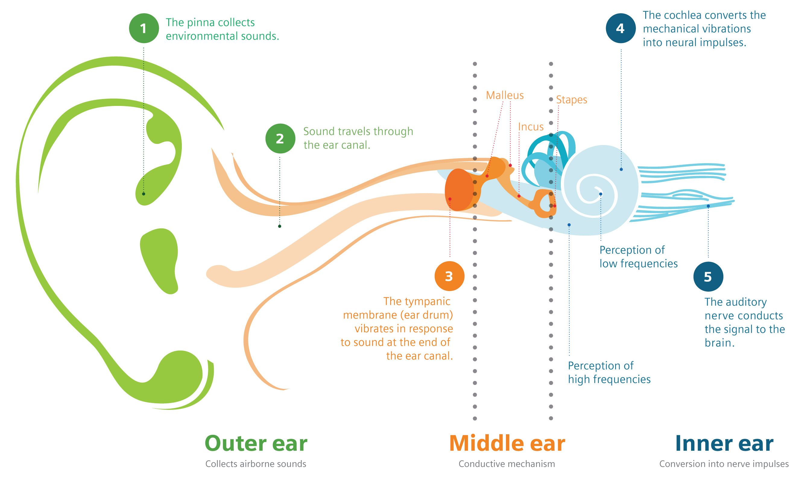 Inner Middle Outer Ear Diagram - DIY Enthusiasts Wiring Diagrams •